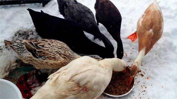 Откорм гусей перед забоем