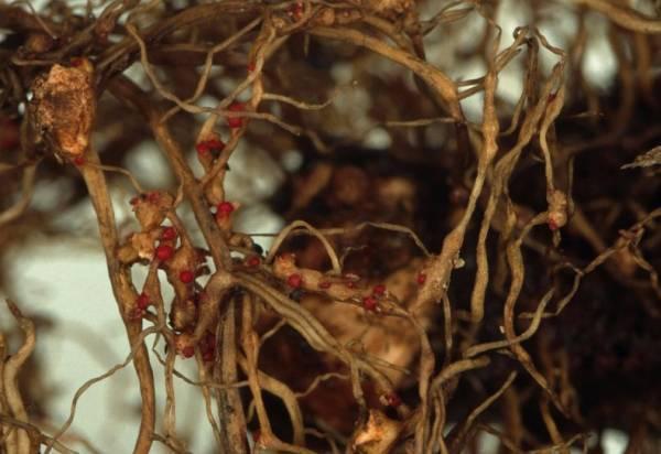 Описание болезней клубники с фото и способы лечения