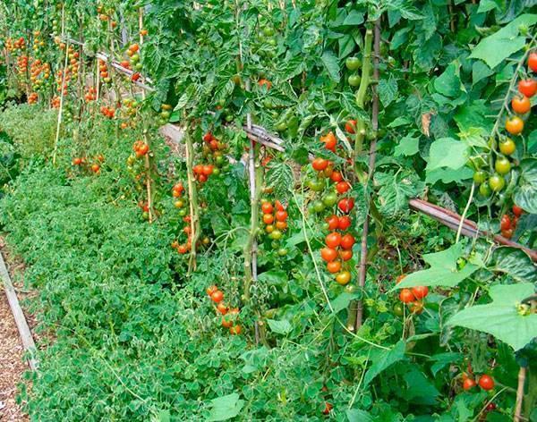 Выращиваем помидоры в открытом грунте и топ 10 советов по рассаде томатов