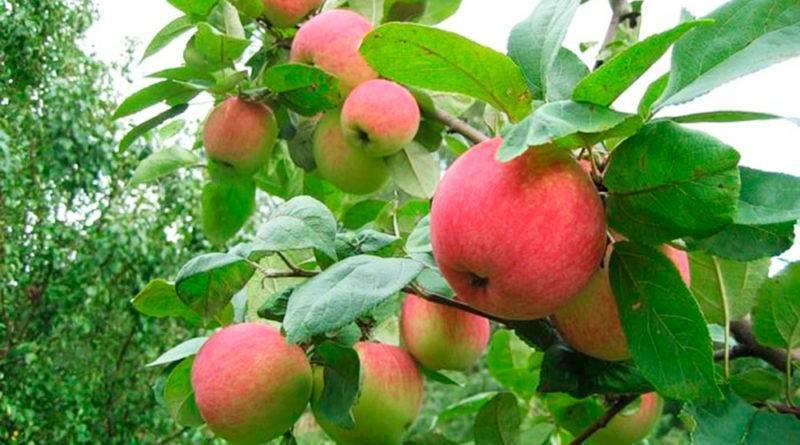 Яблоня услада: описание сорта и его фото, посадка и уход, характеристики и особенности