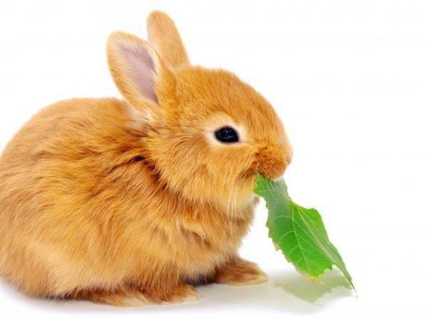 Можно ли давать кроликам лопухи