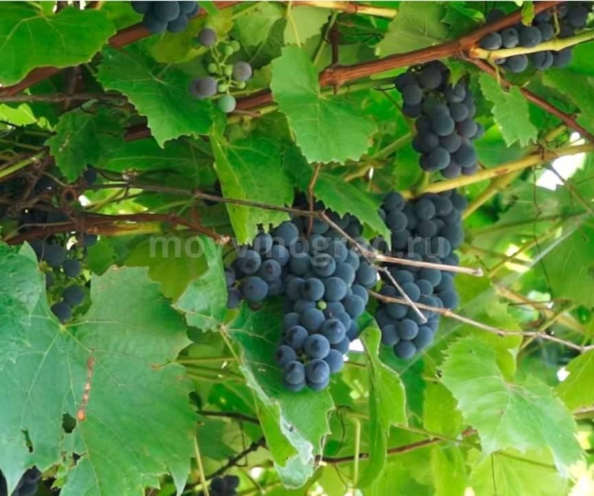 Виноград альфа: 7 характеристик популярного технического сорта
