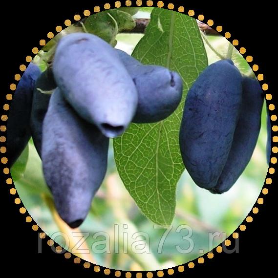 Характеристика и особенности выращивания жимолости сорта сувенир