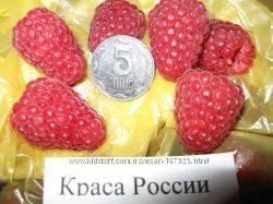 Малина сорта краса россии — такая нежная и вкусная!