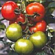 Томат ямал: описание сорта, отзывы, фото, урожайность | tomatland.ru