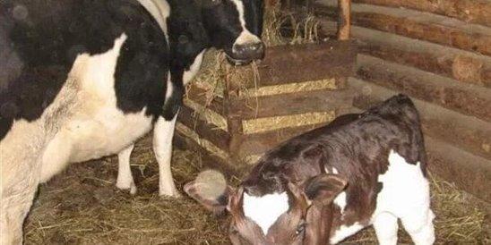 Помощь при патологических родах коров