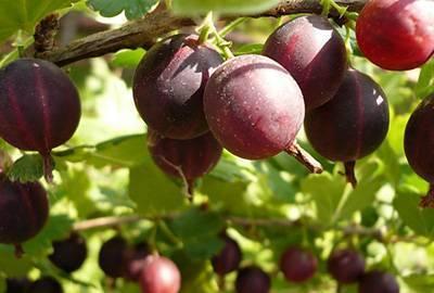 Крыжовник черносливовый: описание по уходу и отзывы огородников