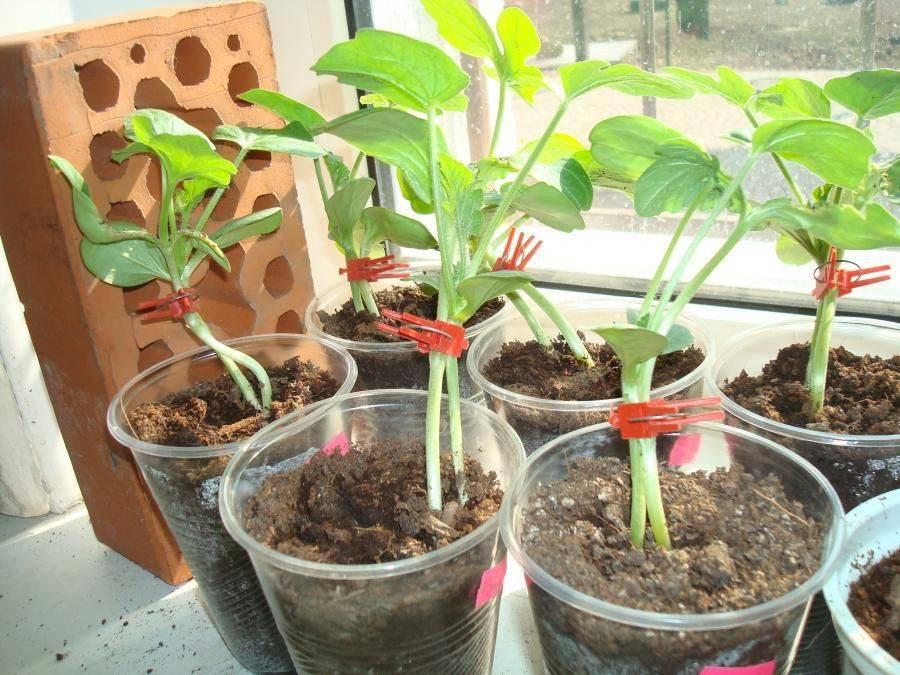 Прививаем арбуз и удивляемся урожаям!