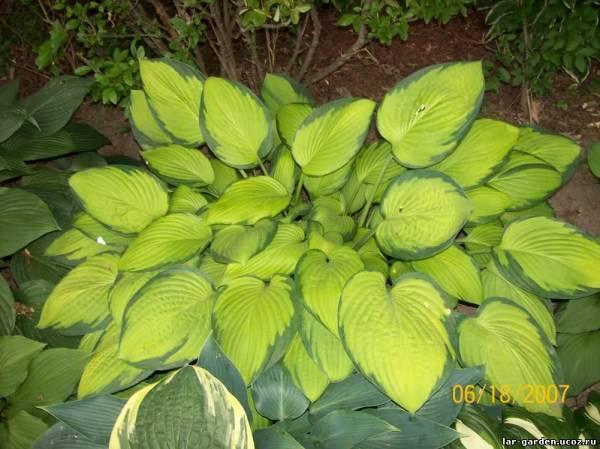 О хосте зибольда: описание сортов, характеристики сортового растения элеганс