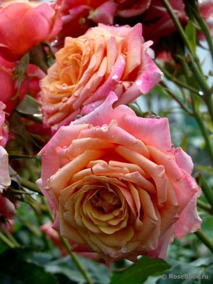 Роза черри бренди