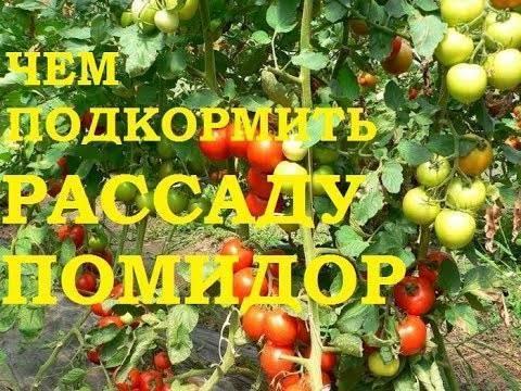 Когда подкармливают рассаду помидор