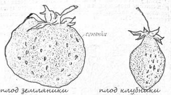 Гибриды и отличия клубники от земляники: в чем разница между культурами