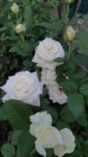 Как бороться с зелеными жуками на розах – практическое руководство для начинающих садоводов