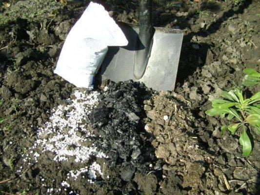 Как пересадить куст смородины весной