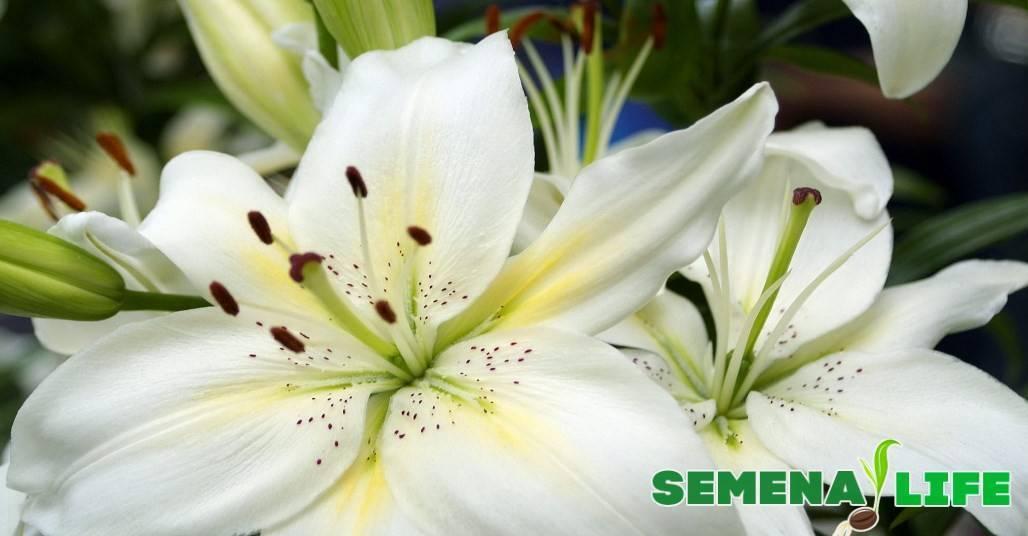 Мельчают цветки у лилий – что делать?