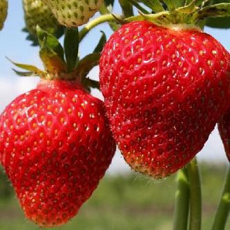 Земляника: посадка и уход, выращивание из семян