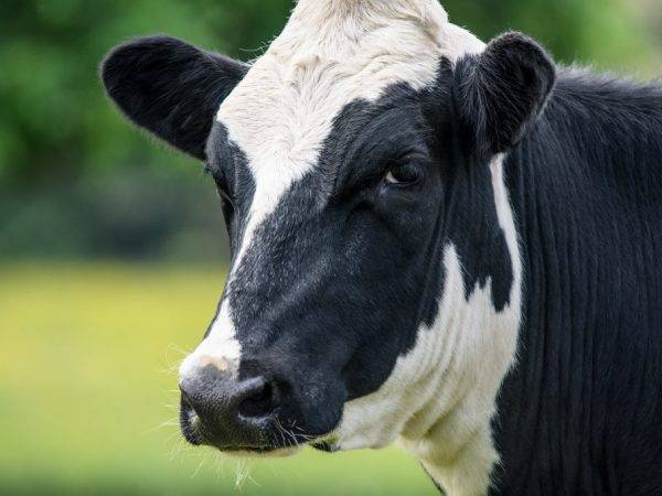 Корова лягается при дойке! что делать? (как отучить?)