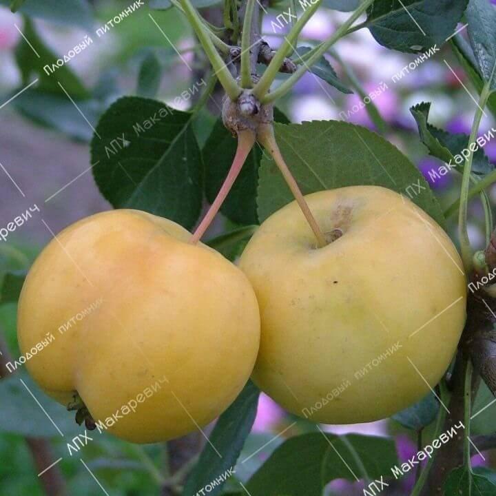 Рассказываем, как сформировать крону яблони: рекомендации специалистов и советы садоводов