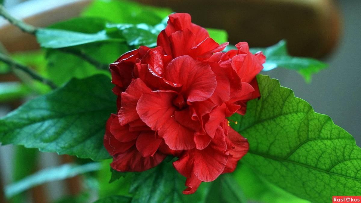 Суданская роза и ее выращивание