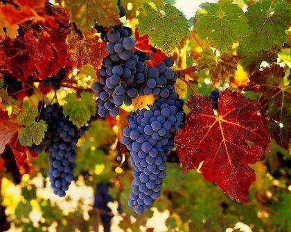 Виноград амурский белый — ягоды грибы