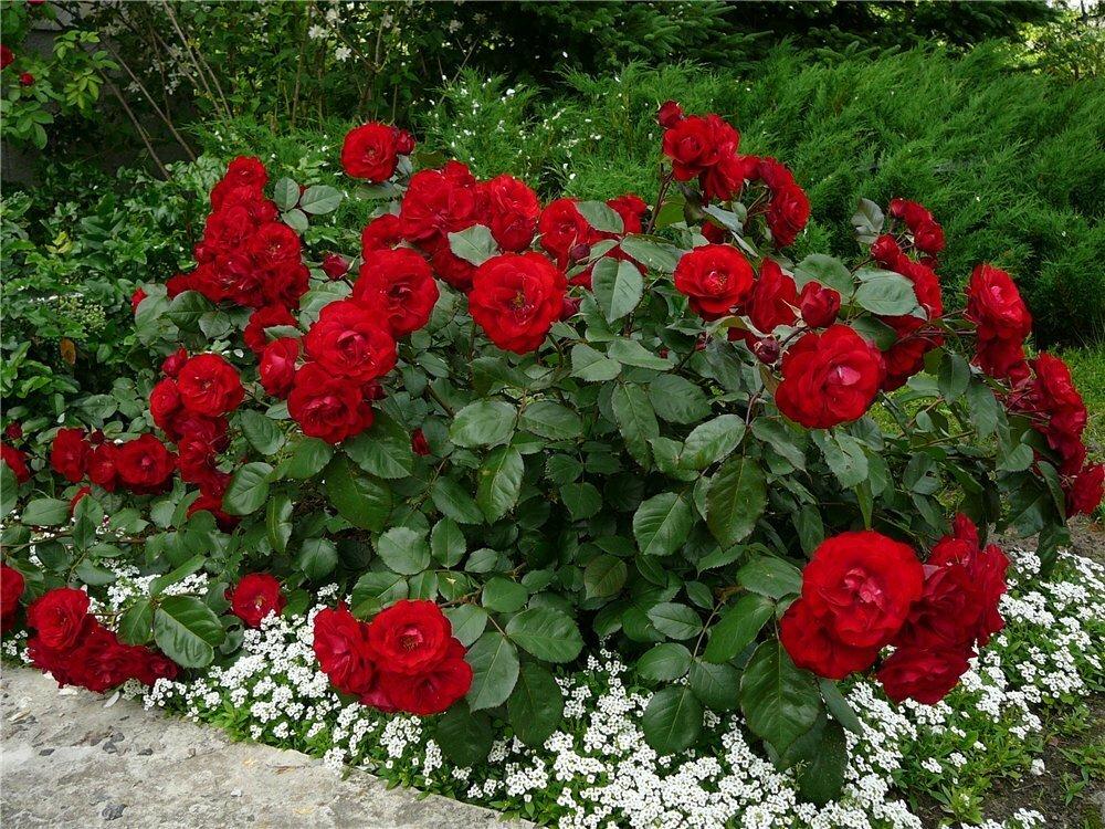 Поэтапный уход за розами весной на даче
