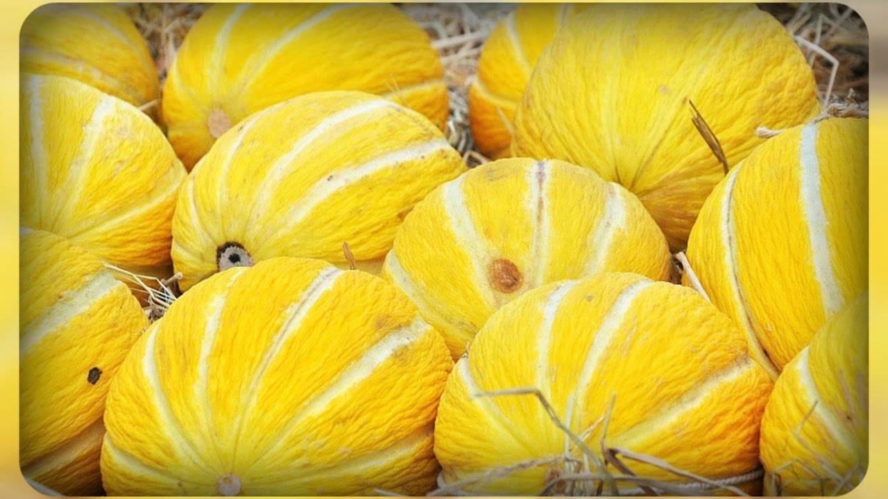 Выращивание арбузов и дынь в средней полосе россии