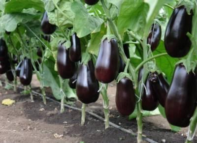 Выращивание баклажанов: высадка и уход в открытом грунте