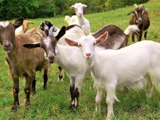 Какие бывают породы коз?