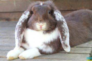 Кролики породы баран