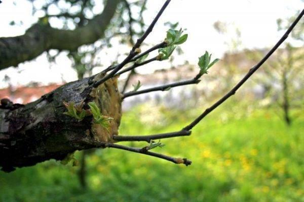 Как должна выполняться прививка яблонь осенью. опыт садоводов
