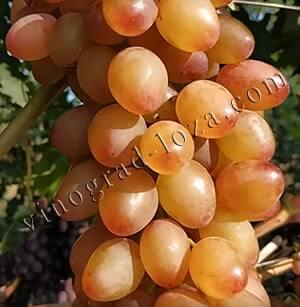 Описание сорта винограда румба - общая информация - 2020