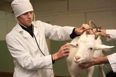 Отравление у коз: симптомы, лечение, профилактика |  ветеринарная служба владимирской области