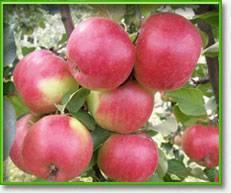 Позднелетний сорт яблонь августа пользуется особым вниманием и спросом