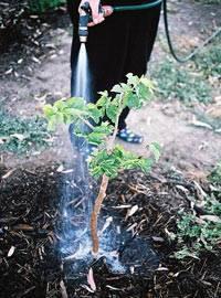Как размножить шелковицу в июле. черенкование шелковицы