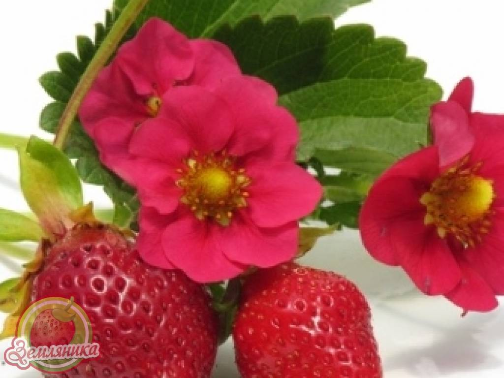 Сорта клубники - описание 40 лучших сортов клубники с фото и отзывами