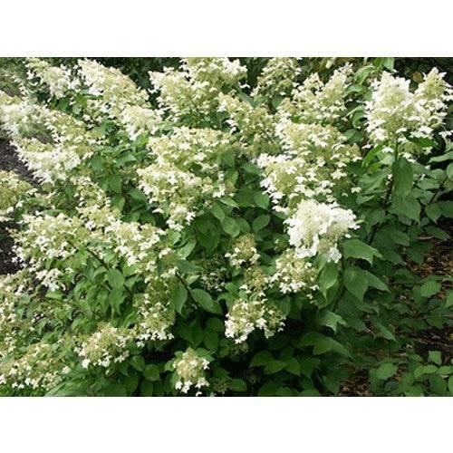 Садовая гортензия - описание, выбор места, посадка и особенности ухода, укрытие на зиму, размножение