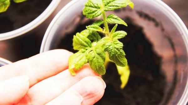 Почему у рассады помидоров скручиваются листья: причины скручивания листьев