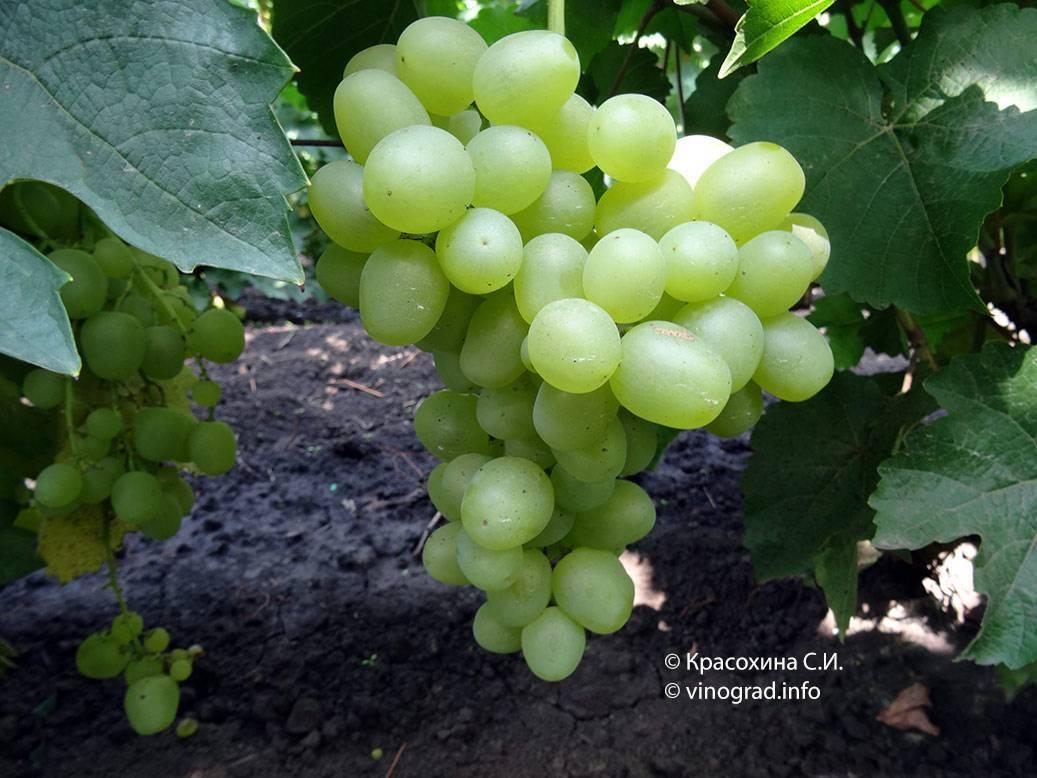 Самый морозостойкий гибрид: виноград - супер экстра
