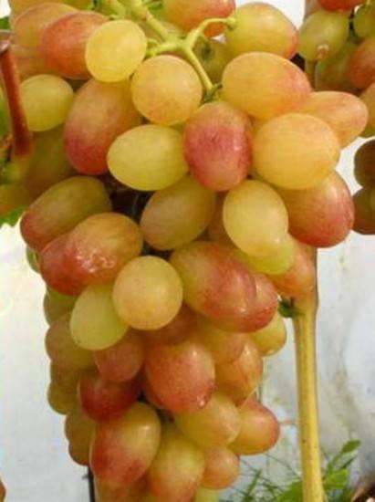 Виноград тасон особенности сорта