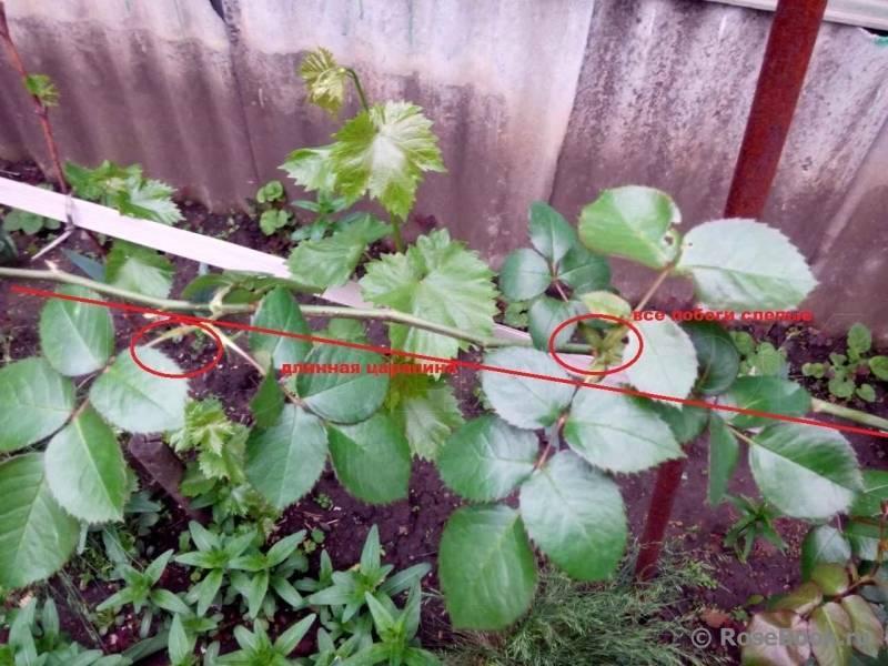 Что делать, когда у розы много слепых побегов: как определить и правильно обрезать