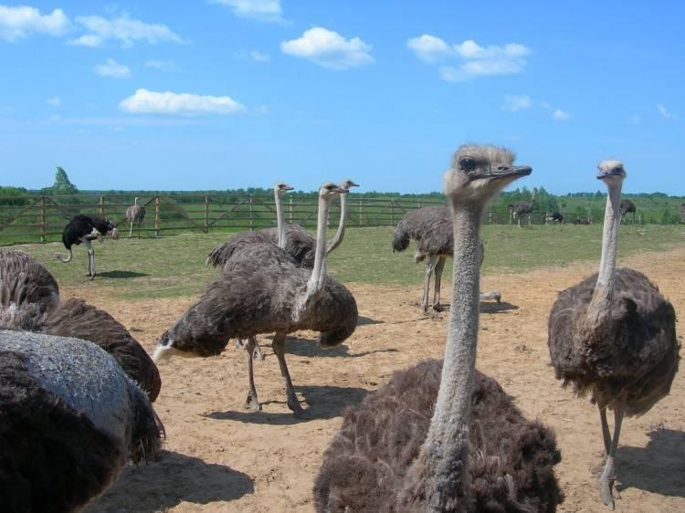 Виды страусов: характеристики, особенности разведения