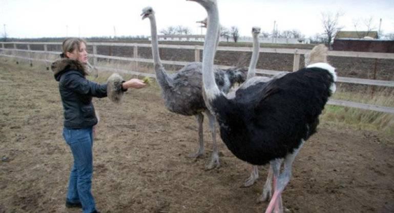 Содержание и разведение страусов в домашних условиях