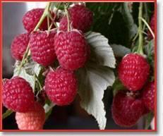 Сорт малины исполин — описание и правила агротехники