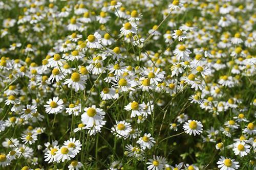 Ромашка аптечная — трава от множества недугов
