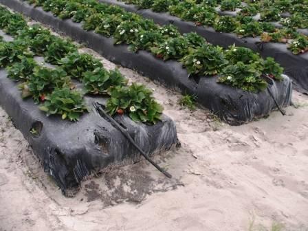 Какой урожай садовой земляники (клубники) можно собрать с 1м2 в теплице?