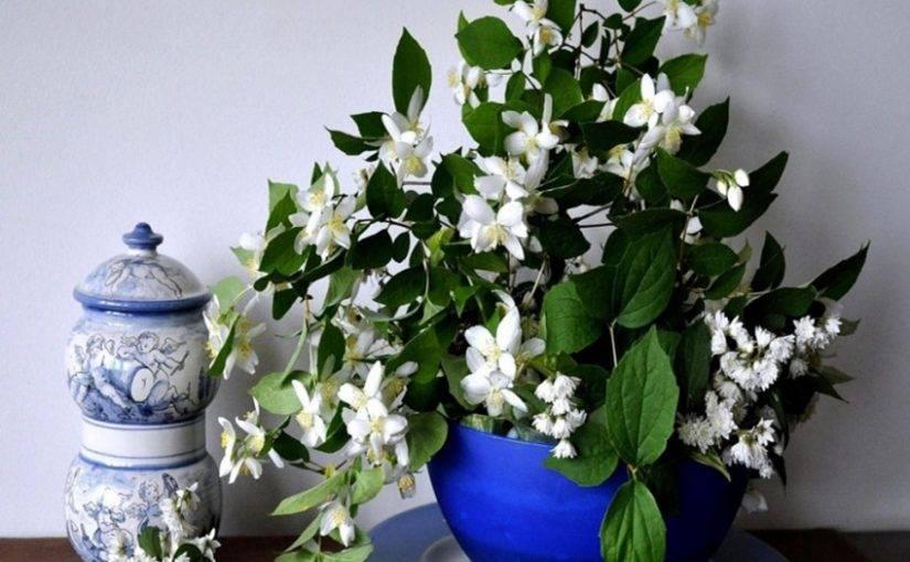 Жасмин комнатный (50 фото): уход за цветком в домашних условиях, бразильский, мадагаскарский и другие виды, нюансы размножения
