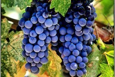 Сорт винограда пино нуар