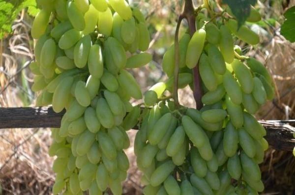 Виноград дамские пальчики (хусайне белый): описание сорта и его фото, характеристики и особенности, болезни и борьба с вредителями