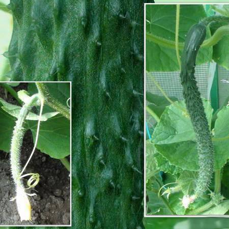 Как приручить китайского змея – раскрываем секреты выращивания китайских огурцов