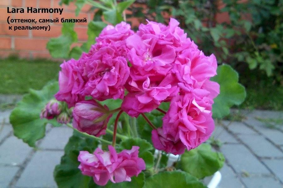 Пеларгонии lara (20 фото): описание пеларгоний harmony и delight, marjorie и alf, rita и других разновидностей